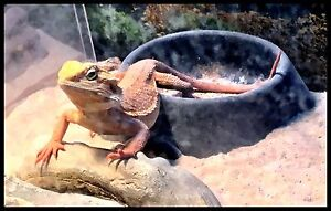 Bearded dragons and tank with stand plus extras
