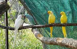 Breeding pair indian ringnecks Hackham West Morphett Vale Area Preview