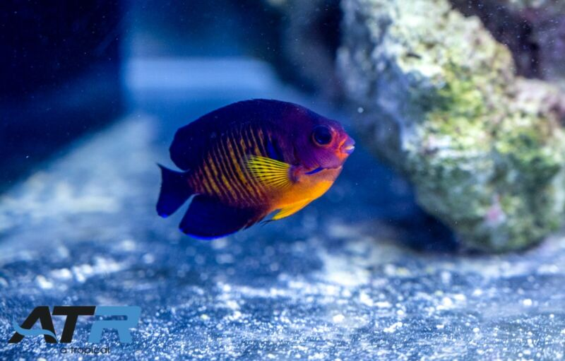 Coral Beauty Angelfish, Small, Rainbow, Not Reef Safe, Herbivore, ATR