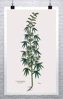 Cannabis Sativa Vintage Marijuana Illustration Rolled Canvas Print 24X40 Inches