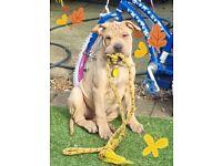 Old Tyme Bulldog female puppy 14 weeks