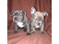 STUNNING BLUE FRENCH BULL DOG PUPPIES