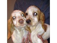 Adorable cocker spaniel puppy's