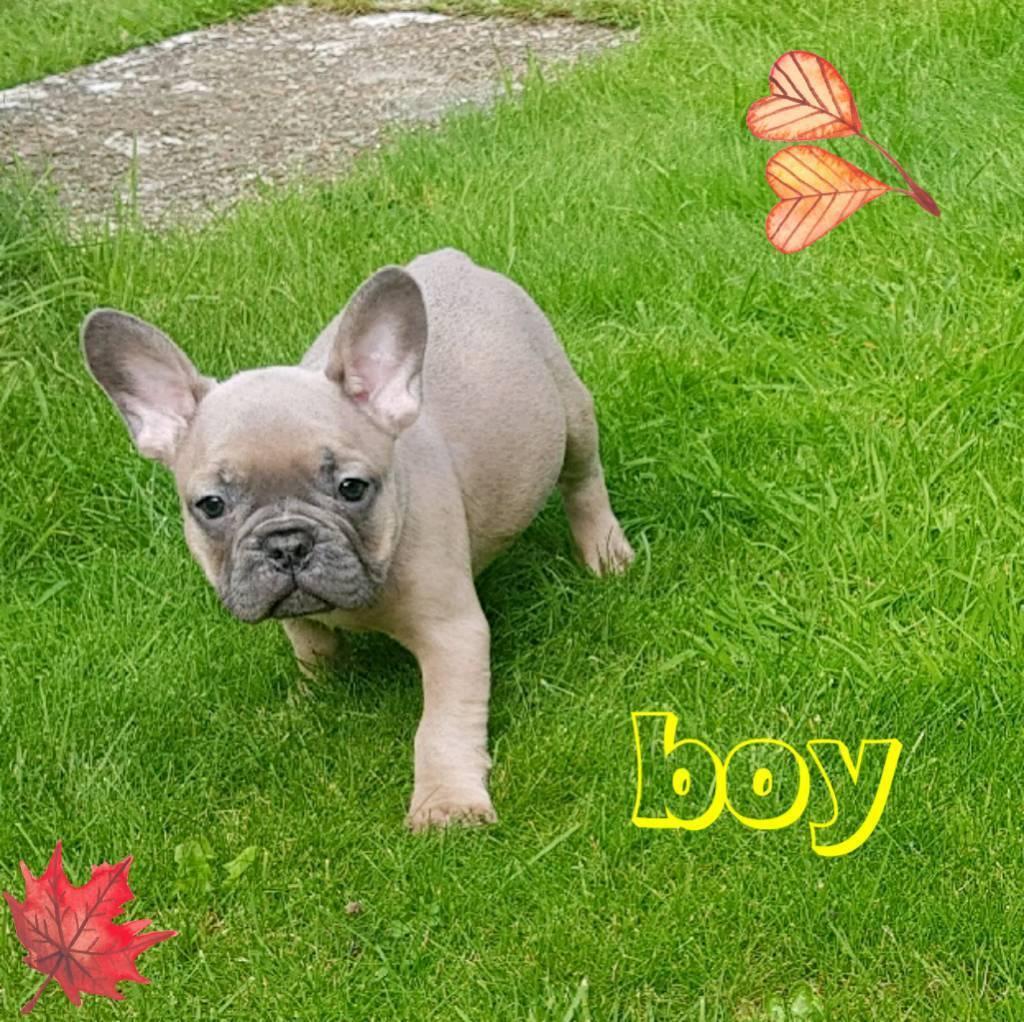Blue fawn French bulldog boy