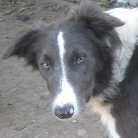 Blue & White Border Collie Pup Please Read Description