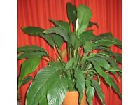 SAVE 50%! large healthy mature Peace Lily (Spathiphyllum) house plant