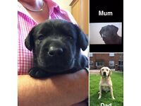 KC Registered Black Labrador Puppies