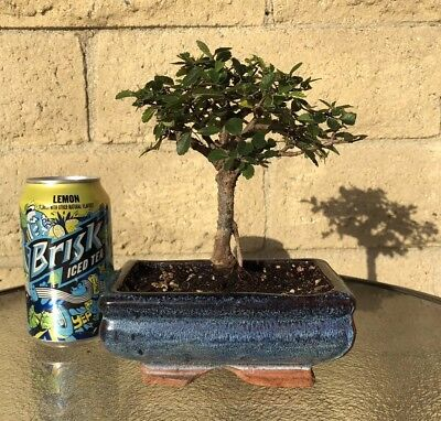(Chinese Elm Bonsai Tree - Straight Trunk - 8 Years Old- Feng Shui Indoor/Outdoor)