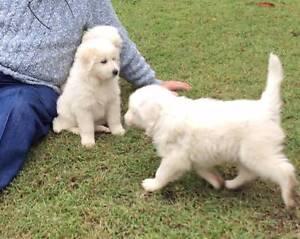Maremma Pups Kogan Dalby Area Preview