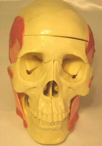 Lifesize human skull anatomical model with muscles med medical anatomy bones New