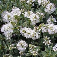9cm Pot Hebe Pagei Garden, Edging & Container Ground Cover Shrub Plant - growon shrubs - ebay.co.uk