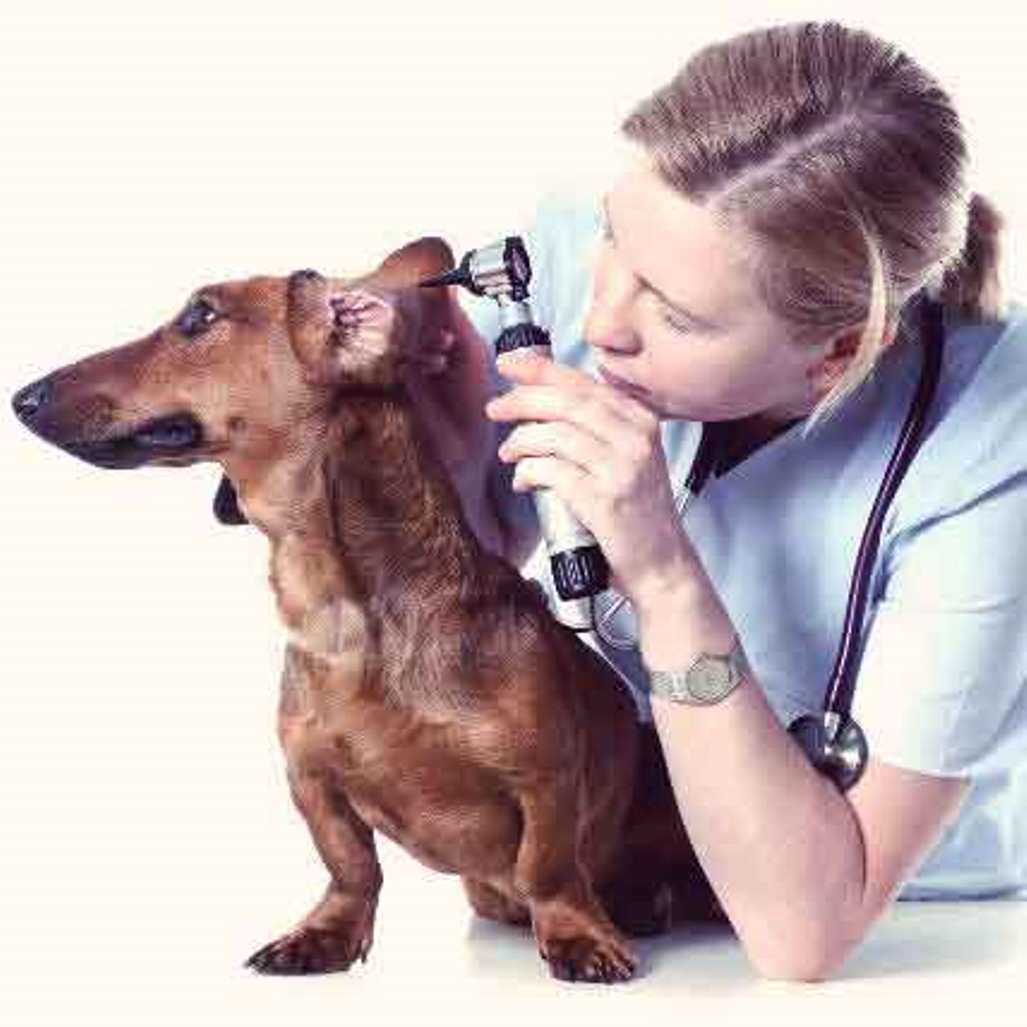 EAR INFECTION CARE FOR PETS - Dogs and Cats - OTITIS - BUY CHEAPLY PAY DEARLY 1