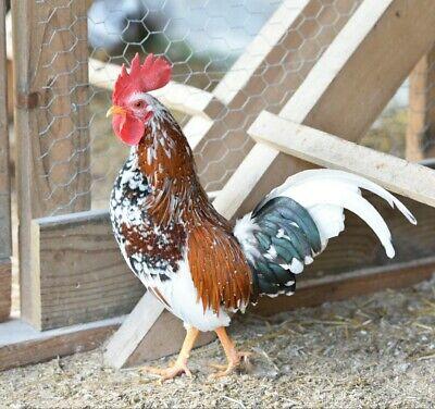 Olandsk Dwarf Bantam Chicken Hatching Eggs  6 Very Rare Pre-sale