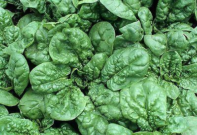 30 Bloomsdale Spinach Longstanding Vegetable Garden Seeds Heirloom Non-GMO
