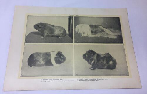 1918 print ~ GUINEA PIGS