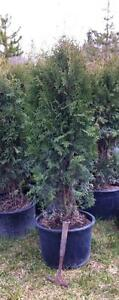 Skybound Cedar -- Year round narrow privacy hedge.  Taking orders for spring.