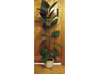 HOUSEPLANT. Lovely healthy rubber plant (Ficus Elastica). £10 ovno. For collection only.