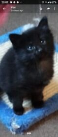 1 gorgeous long haired kitten shadow tabby
