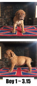 Dogue De Bordeaux champion bloodline pups