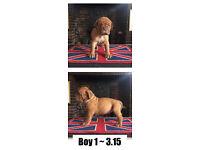Dogue De Bordeaux champion bloodline pups