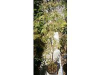 CALIFORNIAN REDWOOD TREE GARDEN SPECIMEN TREE