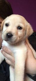Kc registered golden lab puppy