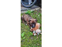 11 week staffy puppy for sale