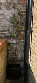 "Fragrant Evergreen JASMIN Plant in Pot, 190 cm / 75"" Tall in Kensington, London"