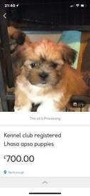 Kc registered pedigree Lhasa Apso pups