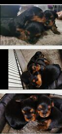 Miniture Yorkshire Terriers