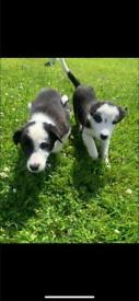 🐶 Collie Pups 🐶