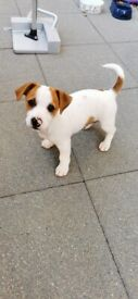 Jack Russell male pup for sale