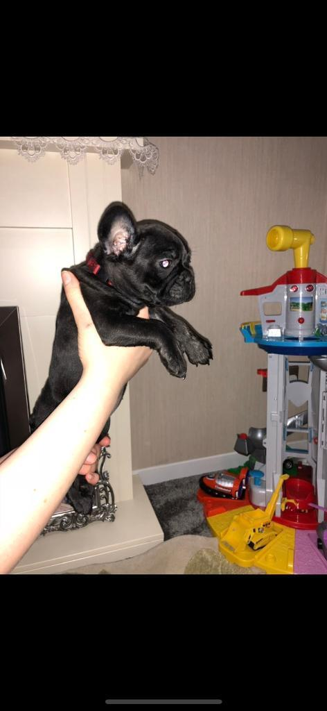 Kc French bulldog puppy's ready now