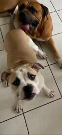 Cane corso cross bullmastiff puppy for sale