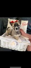 Huskita puppies for sale