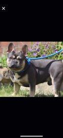 Male kc reg 3 year old french bulldog