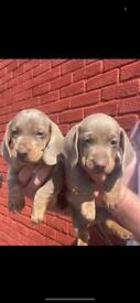 Beautiful dashound puppies ready to go in 2 weeks