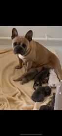 Amazing French Bulldog puppies from health tested parents