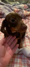 Dachshund puppies only 2 boy left