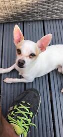 Mexican Chihuahua Male Dog Rare Skin Deer head