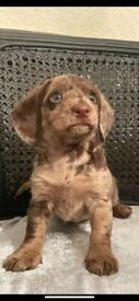 Dachshund cross toy poodle puppies