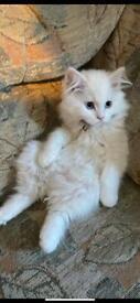 Persian kitten 8 weeks old