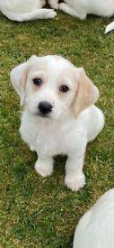 Beagle X Bichon frisè