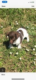 Miniature Jack Russell puppy's