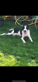 Collie boy 10 month okd