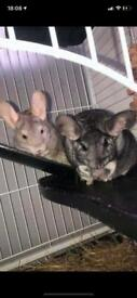 2 female chinchillas and cage included.
