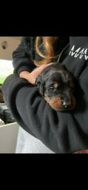 KC REGISTERED DOBERMANN PUPPIES READY TO GO AUGUST