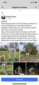 Saluki greyhound for sale