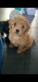Maltipoo Puppies FOR SALE Red, Black, Apricot
