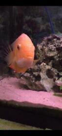 Golden severum fish